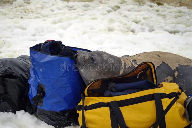 Młoda słoń foka w molt na molton torbach obrazy stock