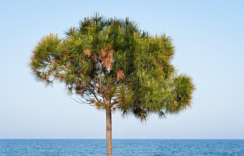 Młoda sosna na mediteranean morze plaży fotografia stock
