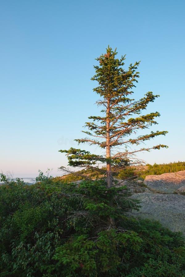 Młoda sosna przy wierzchołkiem Cadillac góra w Acadia narodzie fotografia royalty free