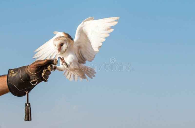 Młoda stajni sowa podczas sokolnictwo lota przedstawienia w Dubaj, UAE zdjęcie royalty free
