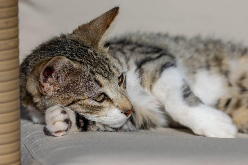 Młoda tabby kota figlarka relaksuje na leżance w świetle słonecznym z łapą pod twarzą zdjęcia royalty free