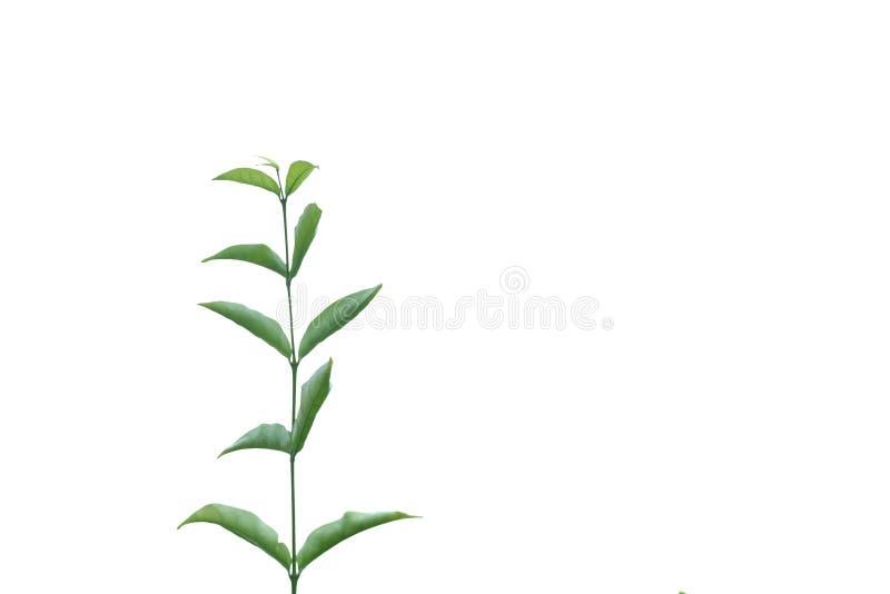Młoda Tropikalna roślina opuszcza z gałąź na białym odosobnionym tle dla zielonego ulistnienia tła zdjęcie stock