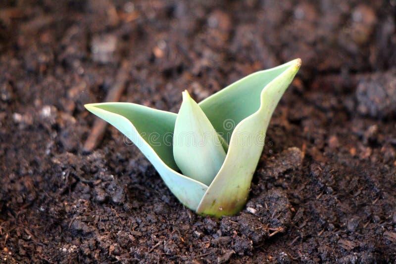 Młoda tulipanowa kwiatonośna roślina z jasnozielonymi liśćmi r z mokrej ziemi w miejscowego ogródzie fotografia royalty free