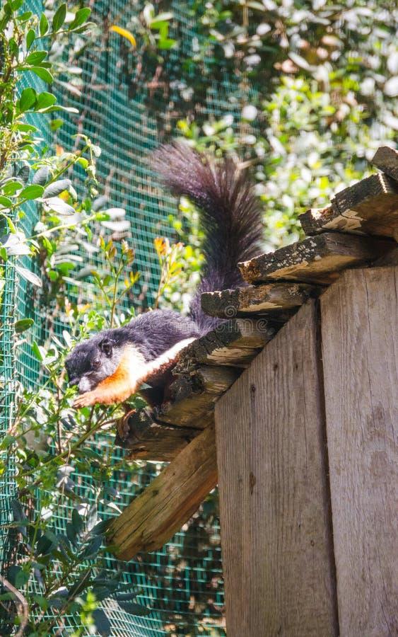 Młoda wiewiórka zdjęcie royalty free