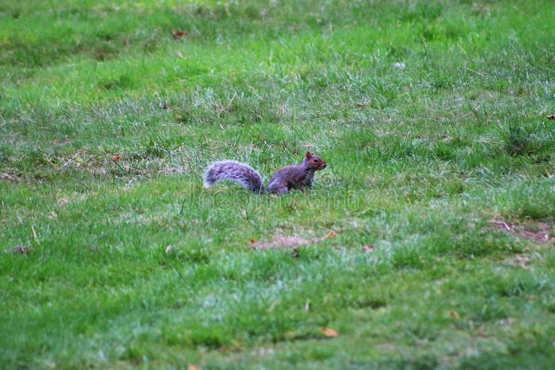 Młoda wiewiórka i zielona trawa obraz stock