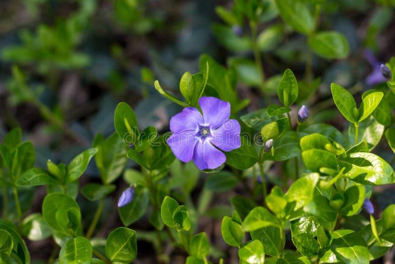 M?oda wiosna kwiatu barwinka ro?lina z zieleni b??kitem i li??mi kwitnie zdjęcia stock