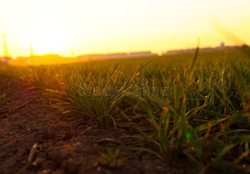 Młoda wiosny trawa przy zmierzchem zdjęcia royalty free