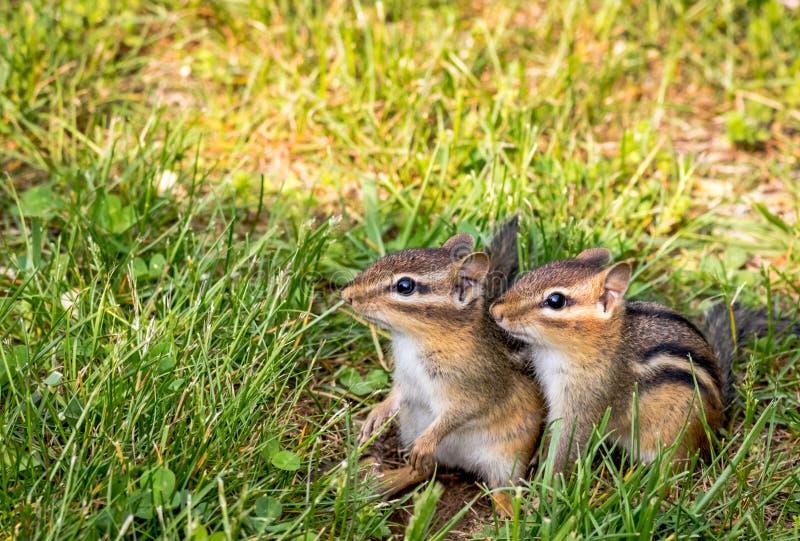 Młoda Wschodniego Chipmunk para w zielonej trawie fotografia stock