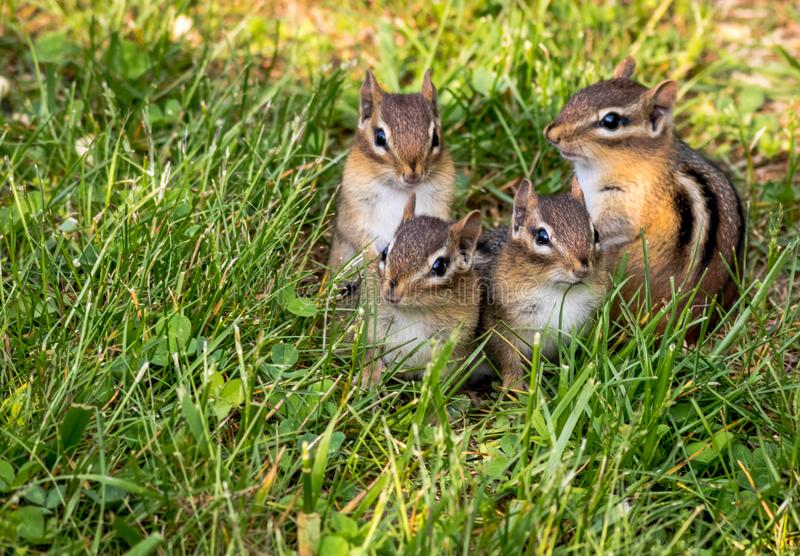 Młoda Wschodniego Chipmunk rodzina składająca się z czterech osób w zielonej trawie zdjęcie stock