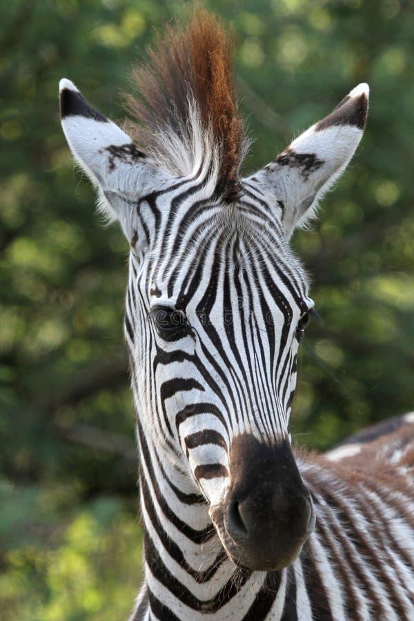 młoda zebra zdjęcie stock