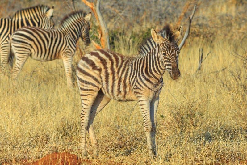 Młoda zebra przy Kalahari zdjęcia stock