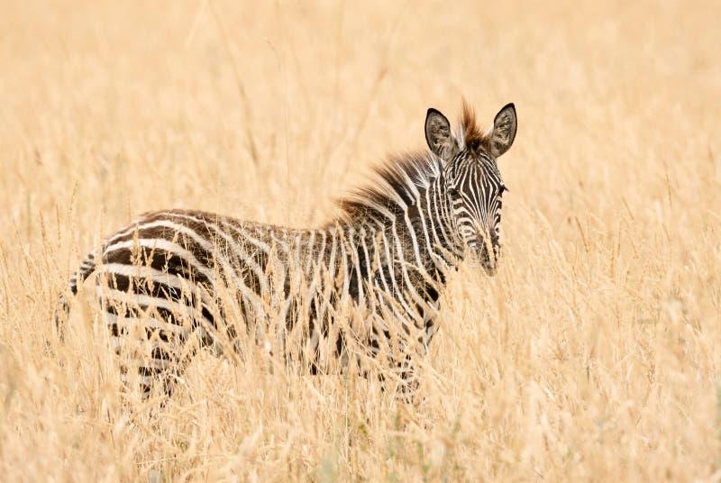 Młoda zebra w trawie obrazy stock