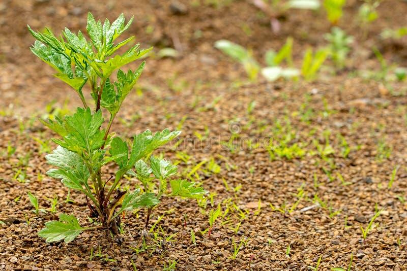 Młoda zielona roślina r przez skalistej ziemi obraz royalty free
