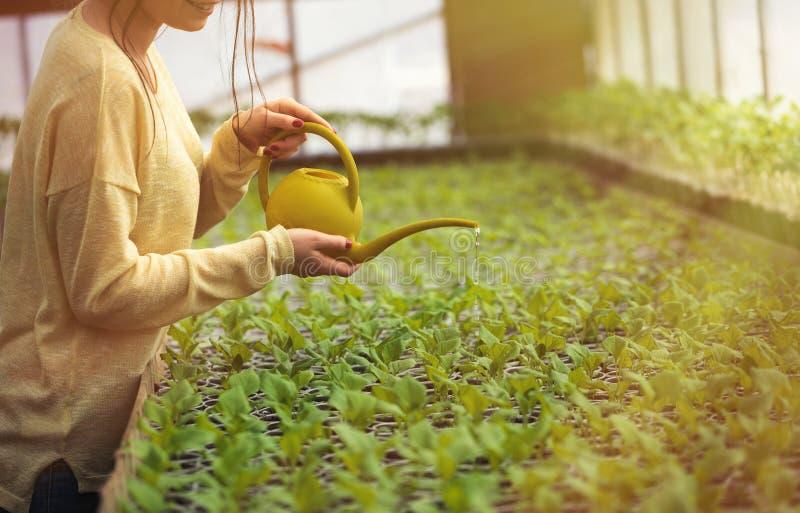 Młode średniorolne kobiety podlewania zieleni rozsady w szklarni obrazy stock