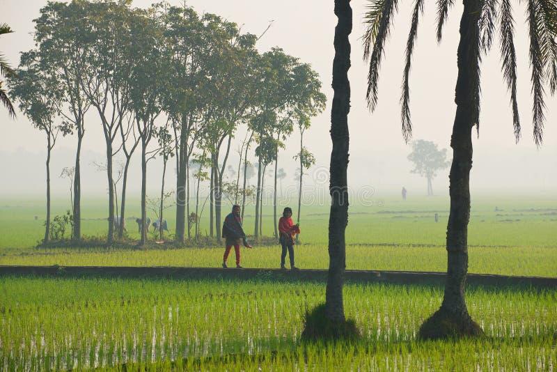 Młode Bangladeskie kobiety chodzą ryżu polem w mglistym ranku w Dhaka, Bangladesz obrazy stock