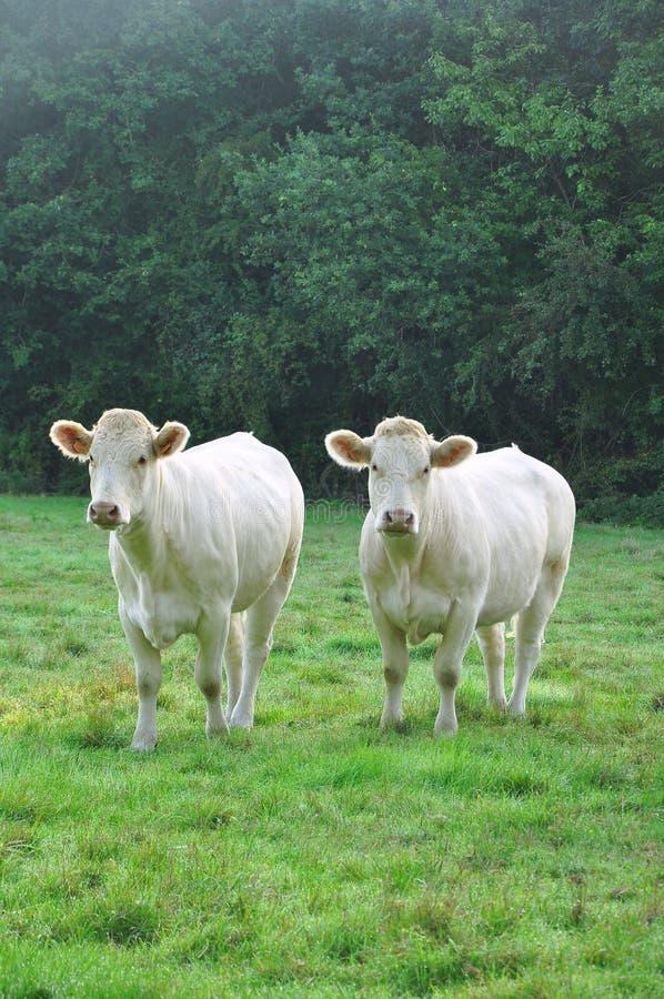młode charolais krowy zdjęcia stock