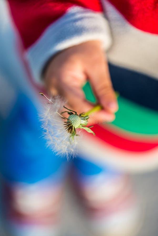 Młode dziecko trzyma dandelion zegar zdjęcia royalty free
