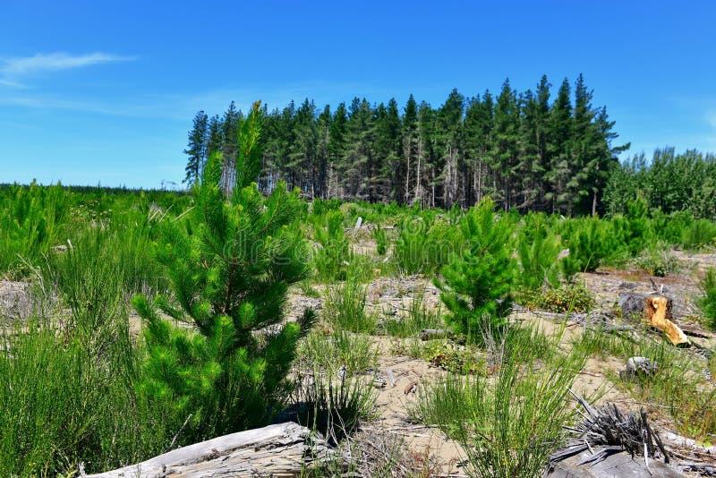Młode i dorosłe sosny w butelka lasu Jeziornym parku fotografia royalty free
