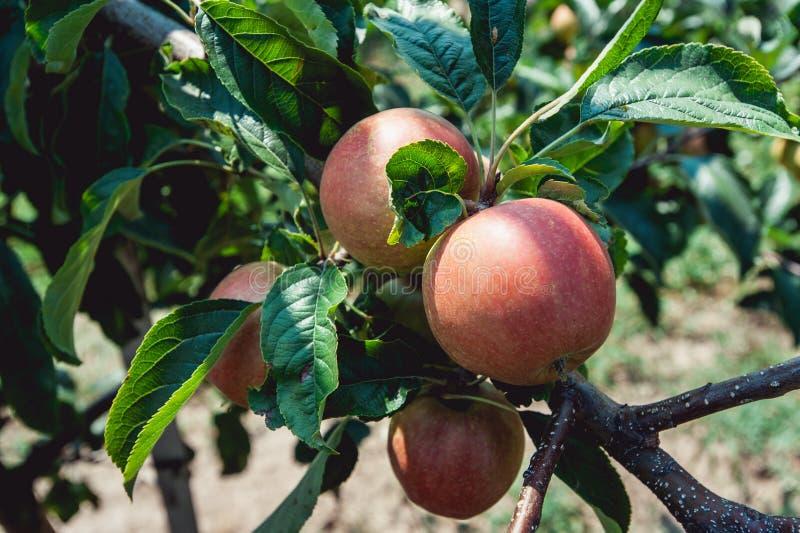 Młode jabłonie, gałąź dojrzali jabłka zdjęcia stock