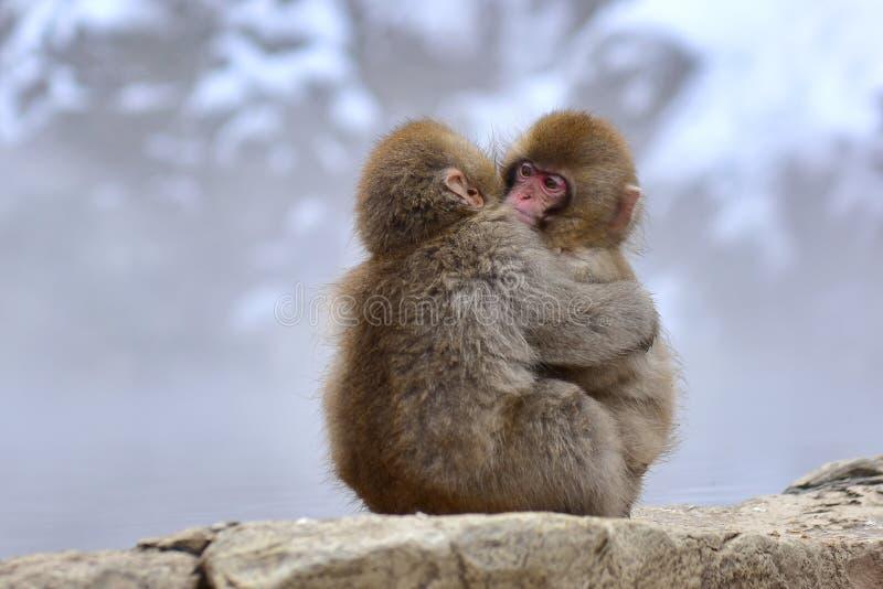 Młode japońskie makaki śnieżne przytulające się do Parku Małp Jigokudani w Nagano w Japonii obrazy royalty free