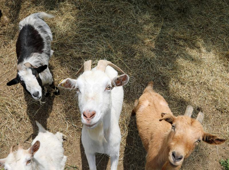 młode kózki w rancho obraz stock