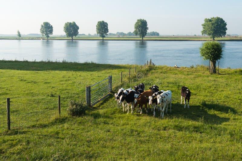 Młode krowy na floodplain rzeka obrazy royalty free