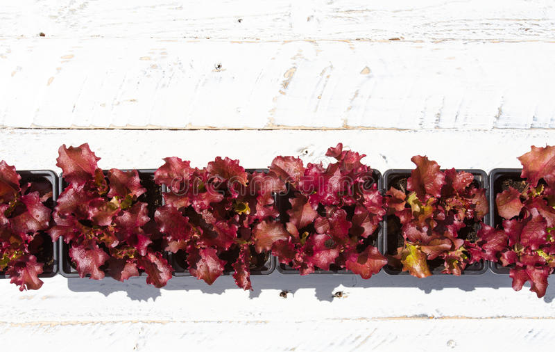 Młode Lollo Rosso sałaty rośliny na Białym tle obrazy royalty free