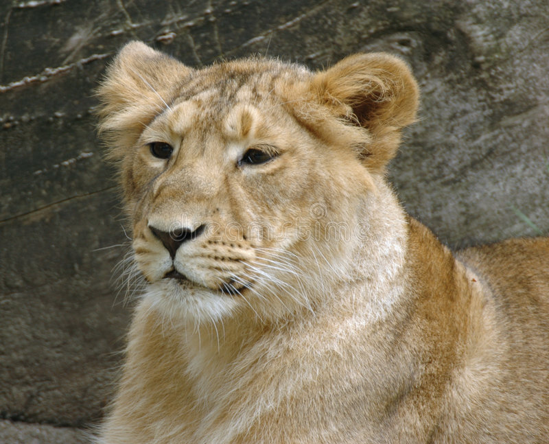 młode lwy obraz stock