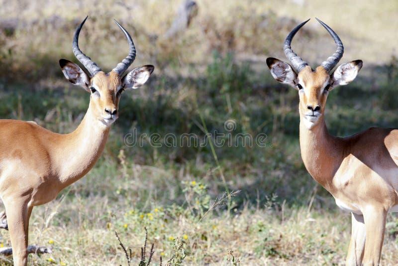 Młode męskie antylopy - impalas fotografia royalty free