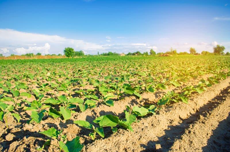 Młode oberżyny r w polu jarzynowi rzędy Rolnictwo farmlands Krajobraz z gruntem rolnym obraz stock