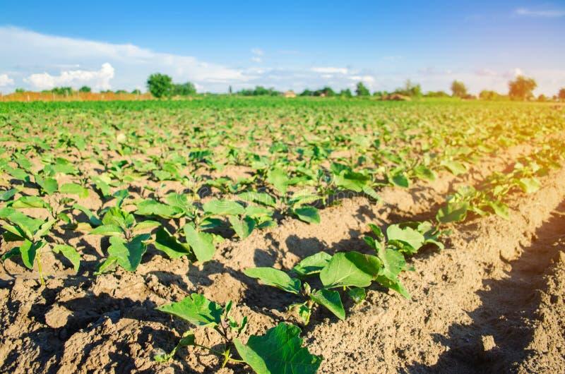 Młode oberżyny r w polu jarzynowi rzędy Rolnictwo farmlands Krajobraz z gruntem rolnym fotografia royalty free