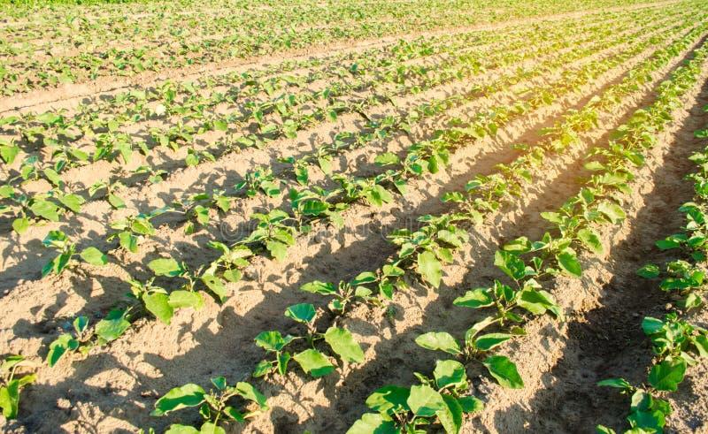 Młode oberżyny r w polu jarzynowi rzędy Rolnictwo farmlands Krajobraz z gruntem rolnym obrazy stock