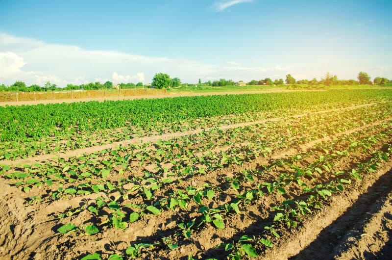 Młode oberżyny r w polu jarzynowi rzędy Rolnictwo farmlands Krajobraz z gruntem rolnym zdjęcie stock