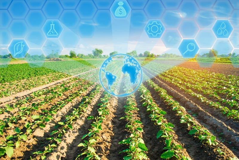 Młode oberżyny r w polu jarzynowi rzędy Rolnictwo farmlands Krajobraz z gruntem rolnym Innowacje w agricu fotografia stock