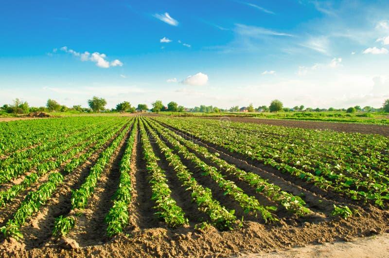 Młode oberżyny r w polu jarzynowi rzędy Rolnictwo, uprawia ziemię farmlands Krajobraz z gruntem rolnym obrazy stock