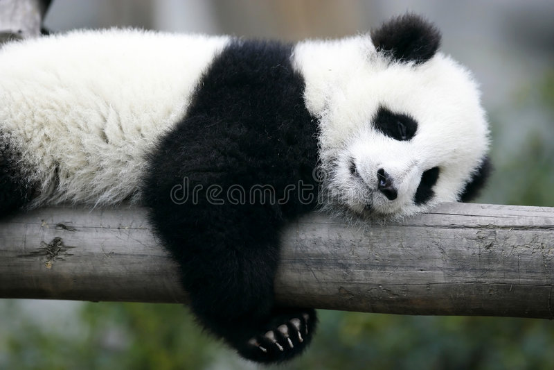 młode panda olbrzymia zdjęcie stock