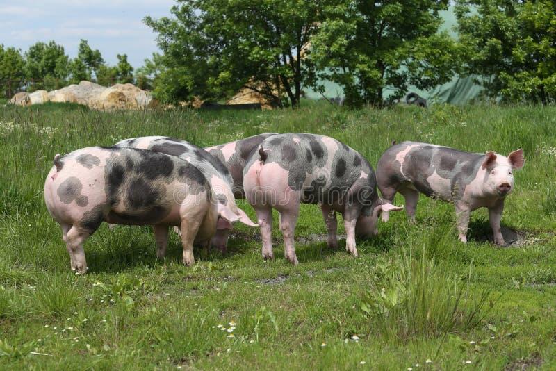 Młode pietrain świnie cieszą się lata światło słoneczne zdjęcie stock