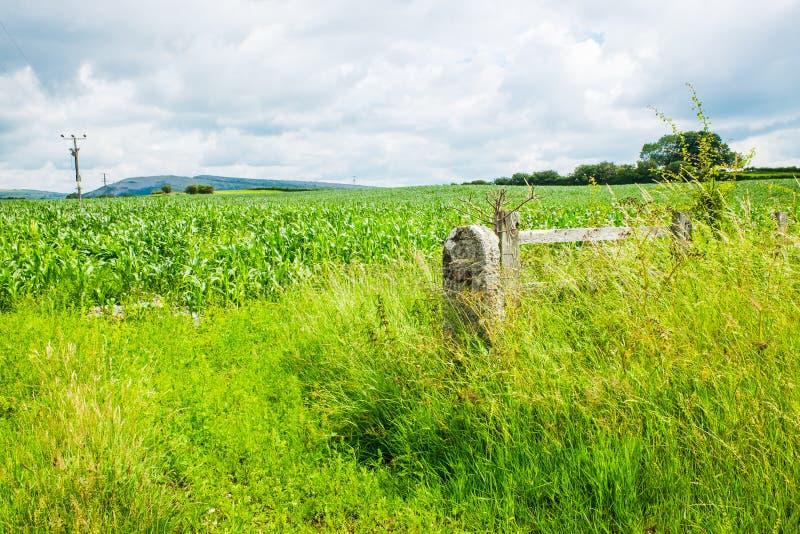 Młode rośliny kukurydziane na polu na błękitnym i mętnym niebie obrazy royalty free
