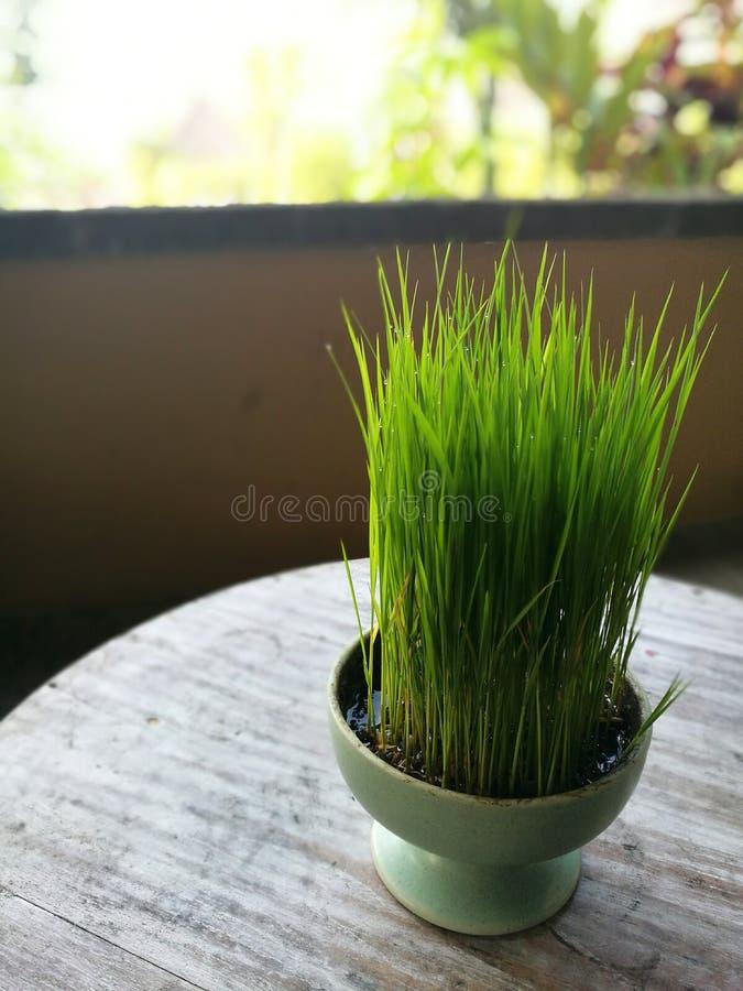 Młode ryżowe rośliny rosnąć jako deco, Ubud, Bali zdjęcia royalty free