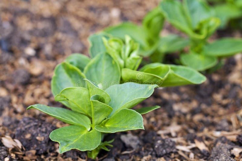 Młode szerokich fasoli rośliny zdjęcie stock