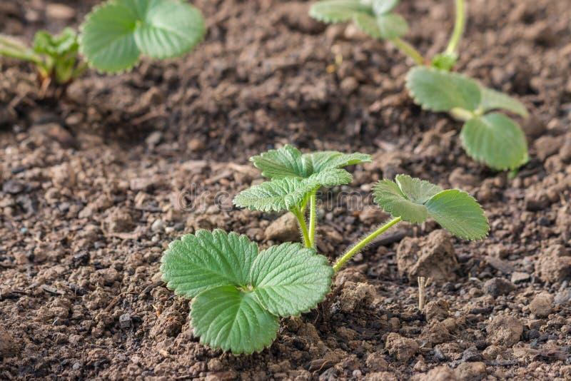 Młode truskawkowe rośliny r w ogród ziemi zdjęcie royalty free
