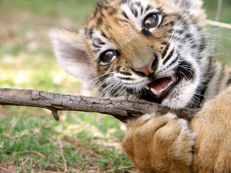 młode tygrysa sztuki zdjęcie royalty free