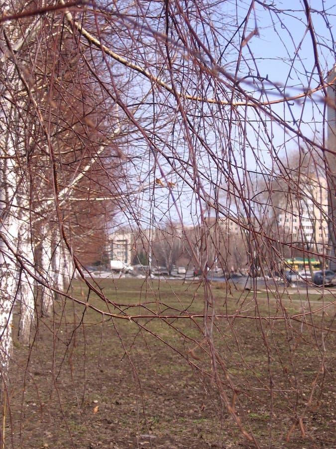 Młode wiosen gałąź brzozy w parku przeciw niebieskiemu niebu obrazy stock