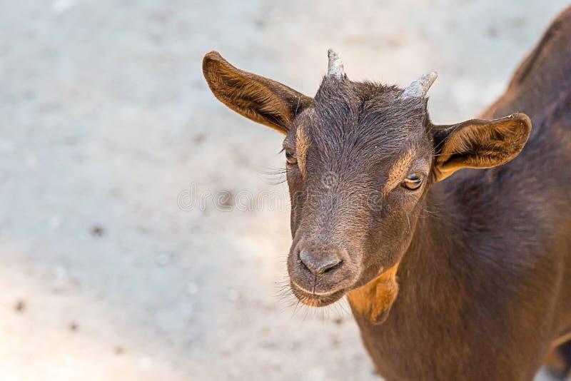 Młodego brązu koźliego ślicznego ssaka zwierzęcy portret zwierzę domowe z długimi ucho i brązów oczami na rozmytej zmielonej tło  obraz stock