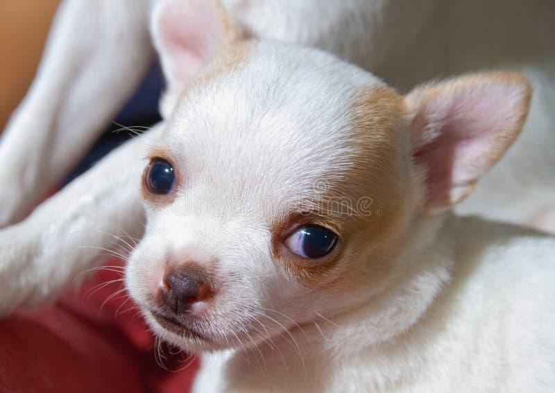 Młodego chihuahua szczeniaka śliczna twarz patrzeje do kamery zdjęcie stock