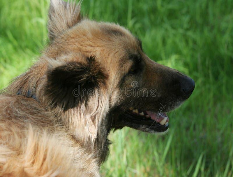 Młodego collie mieszanki pasterski pies zdjęcie stock