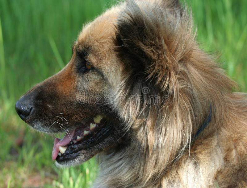 Młodego collie mieszanki pasterski pies obraz stock