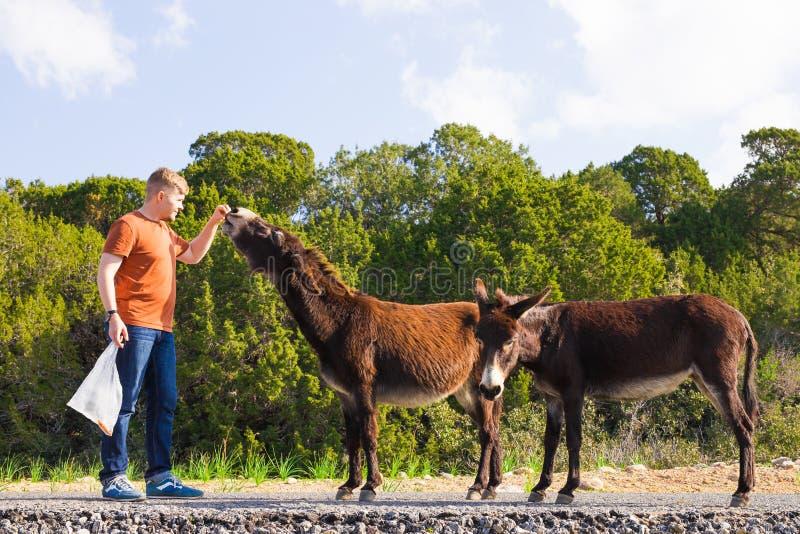 Młodego człowieka karmić dzicy osły poza kontrolą Przyroda, ssaki, zwierzęta i natury pojęcie, zdjęcia royalty free