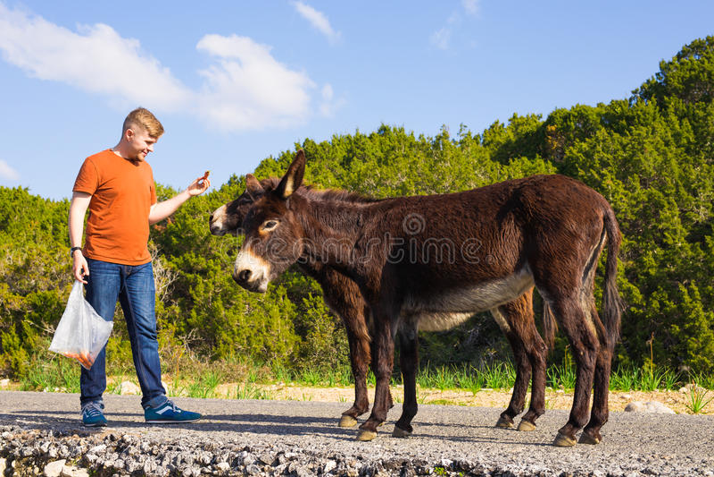 Młodego człowieka karmić dzicy osły poza kontrolą Przyroda, ssaki, zwierzęta i natury pojęcie, obrazy stock