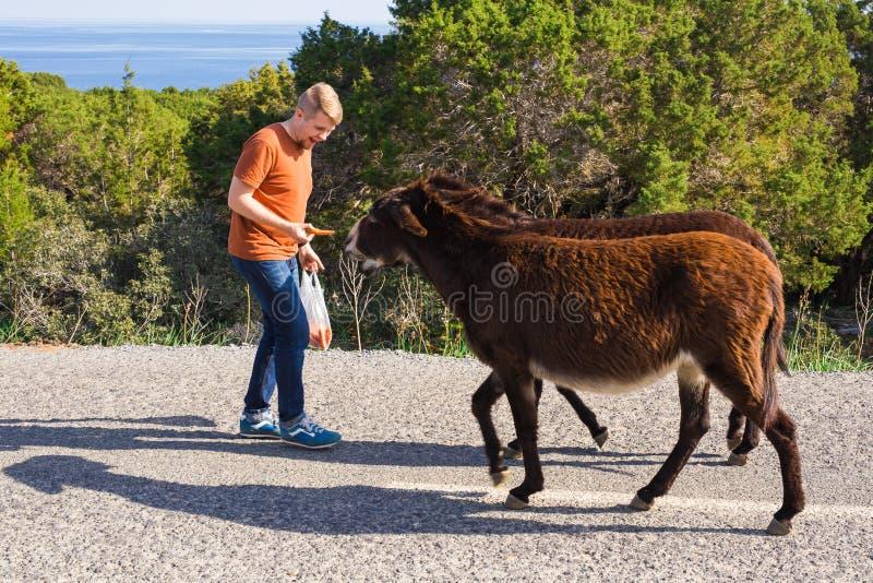 Młodego człowieka karmić dzicy osły poza kontrolą Przyroda, ssaki, zwierzęta i natury pojęcie, zdjęcia stock